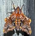 - 7825 – Paonias myops – Small-eyed Sphinx Moth (17520383552).jpg