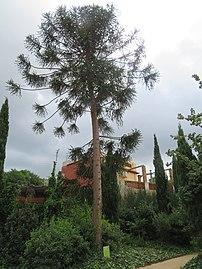 0154-03-11 Pi bunya - Jardins del Teatre Grec 3.jpg