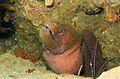 05-EastTimor-Advanced Dive-01 015 (Giant Moray Eel)-APiazza.JPG
