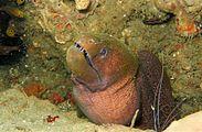 05-EastTimor-Advanced Dive-01 015 (Giant Moray Eel)-APiazza.JPG