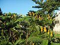 07875jfSenna alata flowers Cassia alata L. ringworm bush Philippinesfvf 07.jpg
