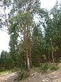 07 Eukalyptus (25927780393).jpg