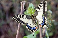 09 Machaon.jpg