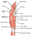 1122 Gluteal Muscles that Move the Femur a esp.png