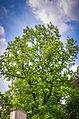 123-річне тюльпанове дерево.jpg