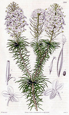 1840 fascicled-leaved stylidium.jpg