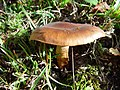 2004-02-01 Tricholoma fulvum (Fr.) Bigeard & H. Guill 304017.jpg