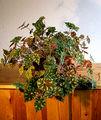 2006-12-13Begonia bowerae01.jpg