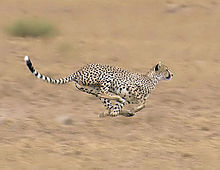 2009-cheetah-sprint.jpg