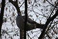 2010-01-30 (9) Ringeltaube, Woodpigeon, Columba palumbus.JPG