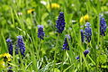2010-04-16 (46) Traubenhyazinthe, Grape hyacinth, Muscari botryoides.JPG