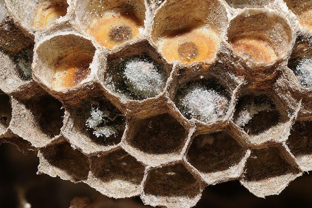 file 2012 01 14 13 47 12 alveoles nid guepes. Black Bedroom Furniture Sets. Home Design Ideas