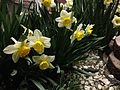 2013-04-07 00 15 58 Daffodils in Elko, Nevada.JPG