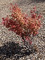 2014-09-28 12 31 33 Euonymus showing autumn foliage coloration in Elko, Nevada.JPG