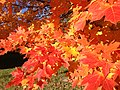 2014-11-02 15 08 07 Sugar Maple foliage during autumn along Parkway Avenue in Ewing, New Jersey.jpg