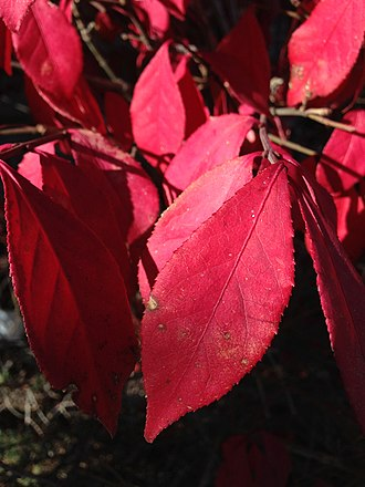 Euonymus alatus - Detail of leaves in autumn