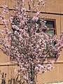 2015-03-25 13 56 49 Purple flowering plum blossoms along 9th Street near Railroad Street in Elko, Nevada.JPG