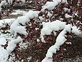 2015-05-07 08 04 55 New leaves and flowers covered by a late spring wet snowfall on a Crabapple on College Avenue in Elko, Nevada.jpg