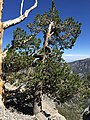 2015-07-13 15 03 47 A Limber Pine along the North Loop Trail about 7.4 miles west of the trailhead in the Mount Charleston Wilderness, Nevada.jpg