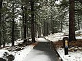 2015-11-02 07 28 22 View east through snow-covered Pine trees along the Truckee River Legacy Trail during a snowstorm at Truckee River Regional Park in Truckee, California.jpg