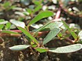 20150821Portulaca oleracea1.jpg