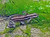 2015 09 Bali 82 catfish with stripes (22103282471).jpg