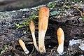 2017-09-08 Hypocrea alutacea (Pers.) Ces. & De Not 793718.jpg