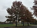 2017-11-09 15 17 49 Pin Oaks during late autumn in Franklin Farm Park in the Franklin Farm section of Oak Hill, Fairfax County, Virginia.jpg