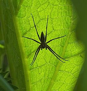 Listspinne - Pisaura mirabilis, Weibchen