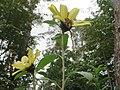 20170919Helianthus tuberosus2.jpg