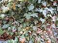 2018-01-12 (106) Hedera helix (ivy) at Haltgraben in Frankenfels.jpg