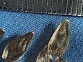 2018-01-13-14.58.59 ZS PMax Helianthella californica var. nevadensis-1 (39643788892).jpg