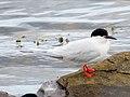 2020-07-18 Sterna dougallii, St Marys Island, Northumberland 18.jpg