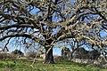 2020 Oak Vallonea of Tricase IT.jpg