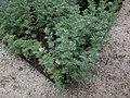 20210605 Hortus botanicus Leiden - Artemisia absinthium.jpg