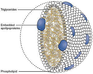 Chylomicron - Image: 2512 Chylomicrons Contain Triglycerides Cholesterol Molecules and Other Lipids