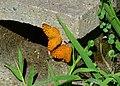 296紅擬豹斑蝶2(洪振龍攝) (30947095763).jpg