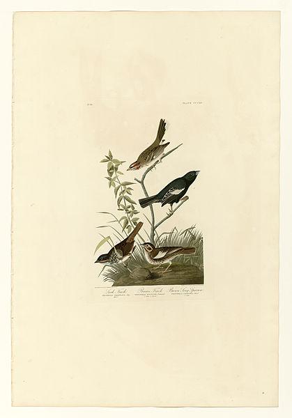 File:390 I. Lark Finch - 2. Prairie Finch - 3. Brown Song Sparrow.jpg