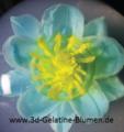 3d-Gelatine-Blume Elfenschuh 2.png