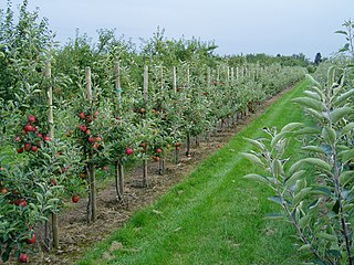 320px-90915-Obstplantage_Altes_Land.JPG
