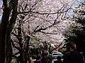 AIST Sakura - panoramio (1).jpg