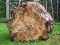 A Tree beside Invercharron House - geograph.org.uk - 56464.jpg