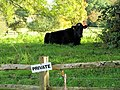 A Very Private Cow, Balcombe - geograph.org.uk - 1016461.jpg
