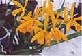 A and B Larsen orchids - Brassolaeliocattleya Golden Mul Orient 937-7.jpg