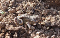 A camouflage toad.jpg