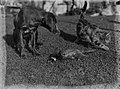 A dog and a cat by a dead pheasant (AM 87227-1).jpg
