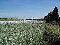 A field of White Poppies. - geograph.org.uk - 93864.jpg