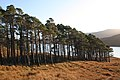 A line of pine trees above Loch Fannich - geograph.org.uk - 1575115.jpg