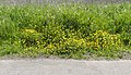 A profusion of buttercups, Rimrose Valley.jpg