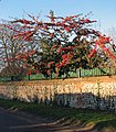 A profusion of red winter berries - geograph.org.uk - 1075582.jpg
